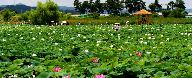 Korean flower field